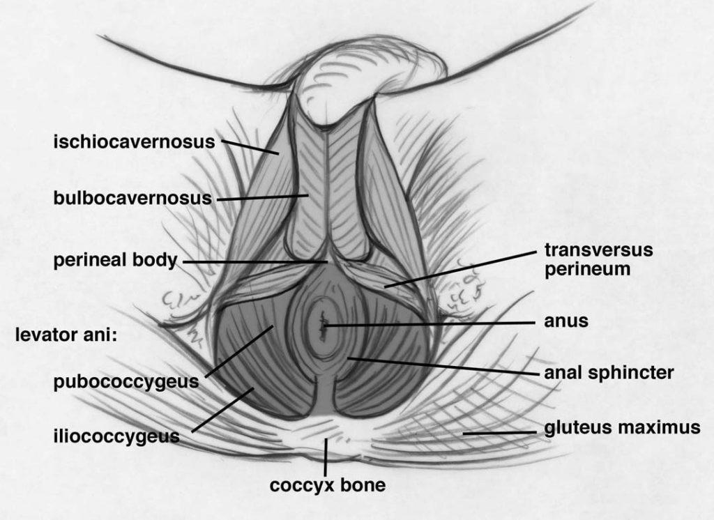 pelvicfloormuscles