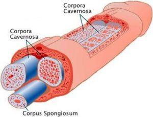 penis-anatomy