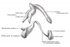 extenders-parts-of-penis